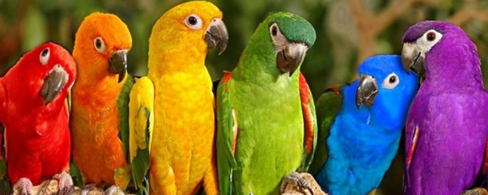 parrots-of-the-caribean-1000x400